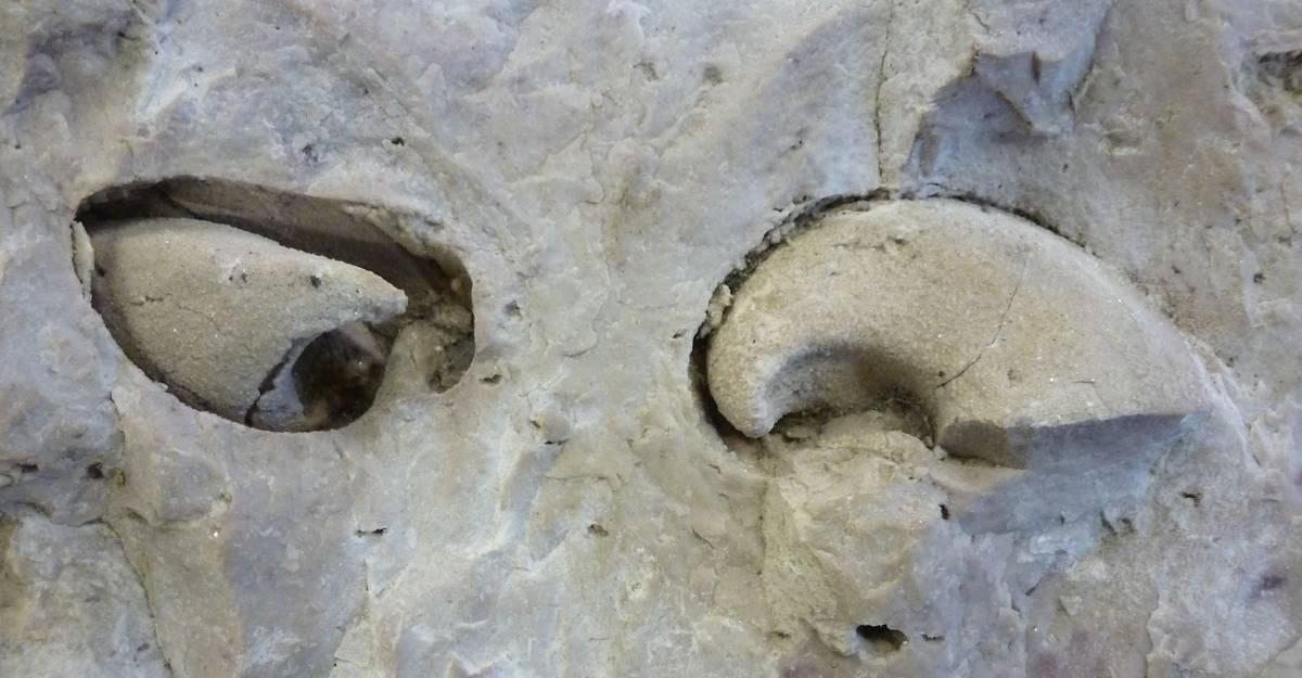 modello interno di un megalodonte
